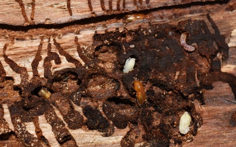 houtworm verwijderen